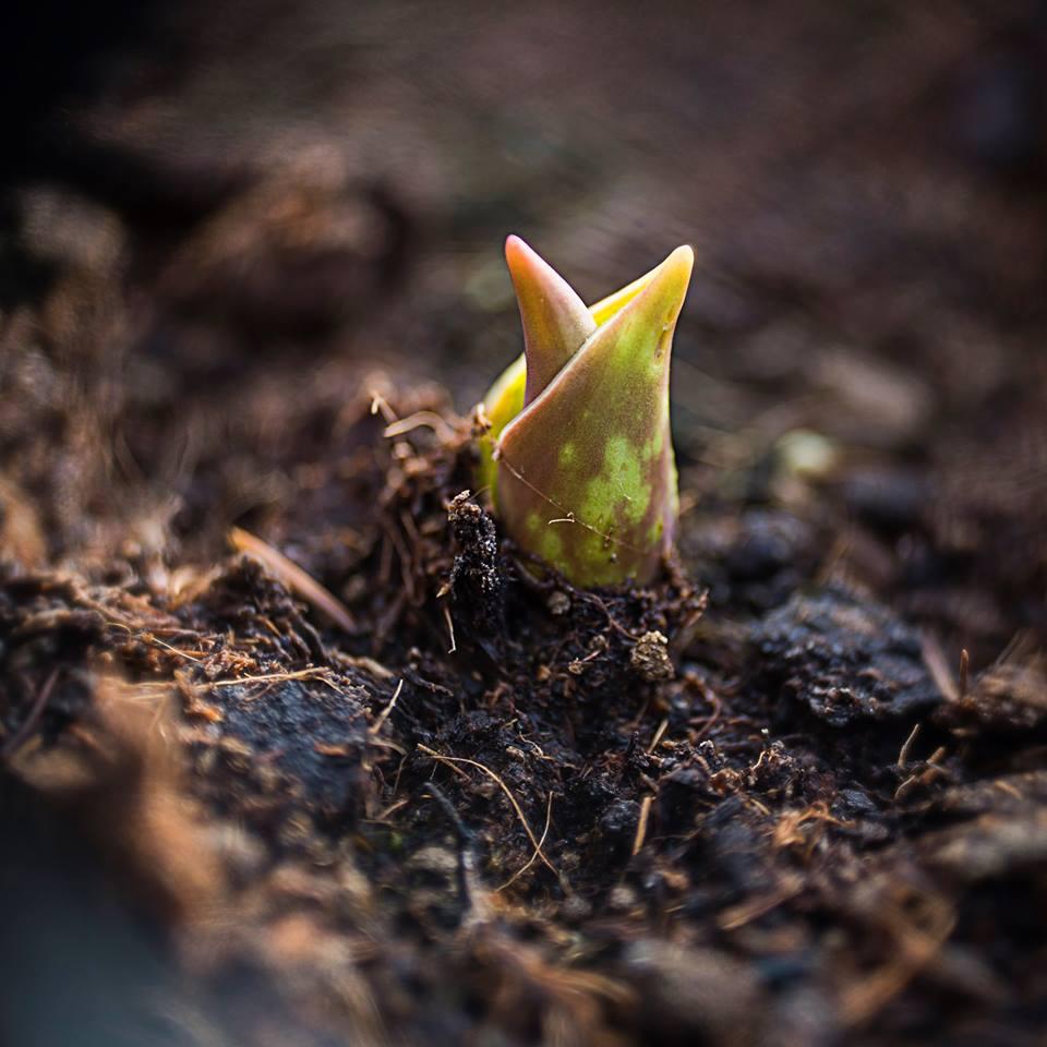 MILUNA-Ewa-Milun-Walczak-wiosna-tulipan-kiełek-nowolijek-roslina-pierwszy-lisc-natura-budzi-sie-2