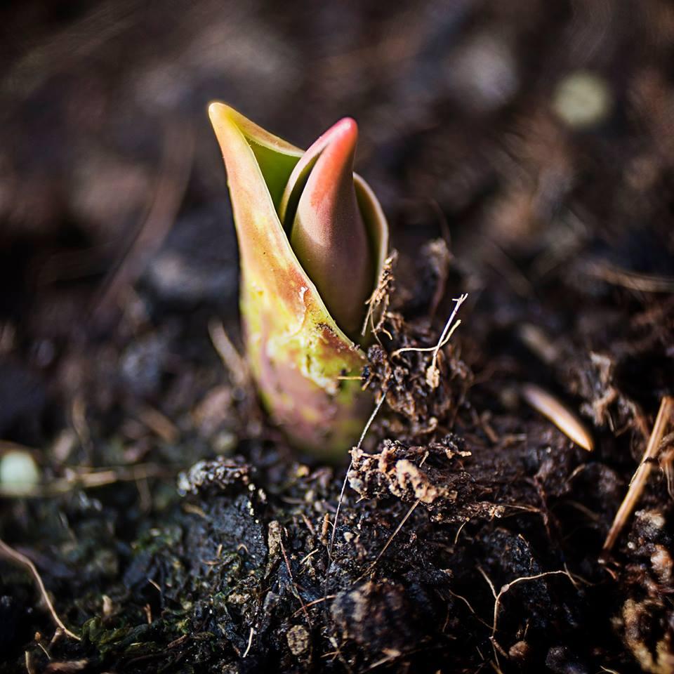 MILUNA-Ewa-Milun-Walczak-wiosna-tulipan-kiełek-nowolijek-roslina-pierwszy-lisc-natura-budzi-sie-3