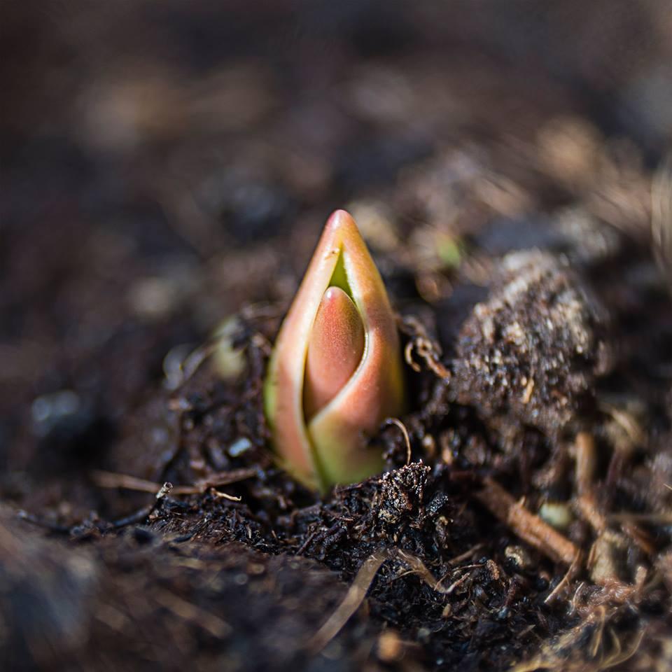 MILUNA-Ewa-Milun-Walczak-wiosna-tulipan-kiełek-nowolijek-roslina-pierwszy-lisc-natura-budzi-sie-4